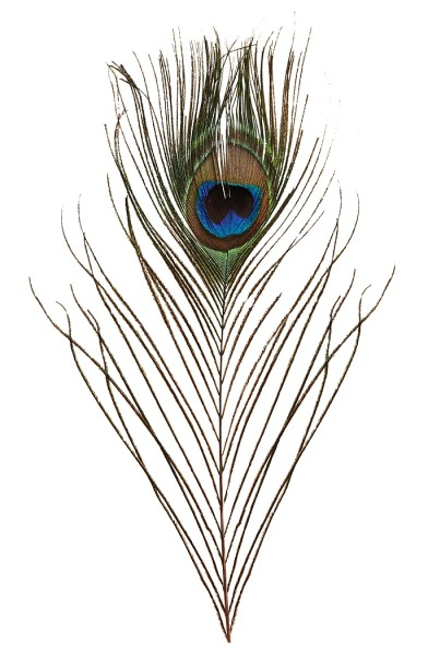 Pfauenfeder